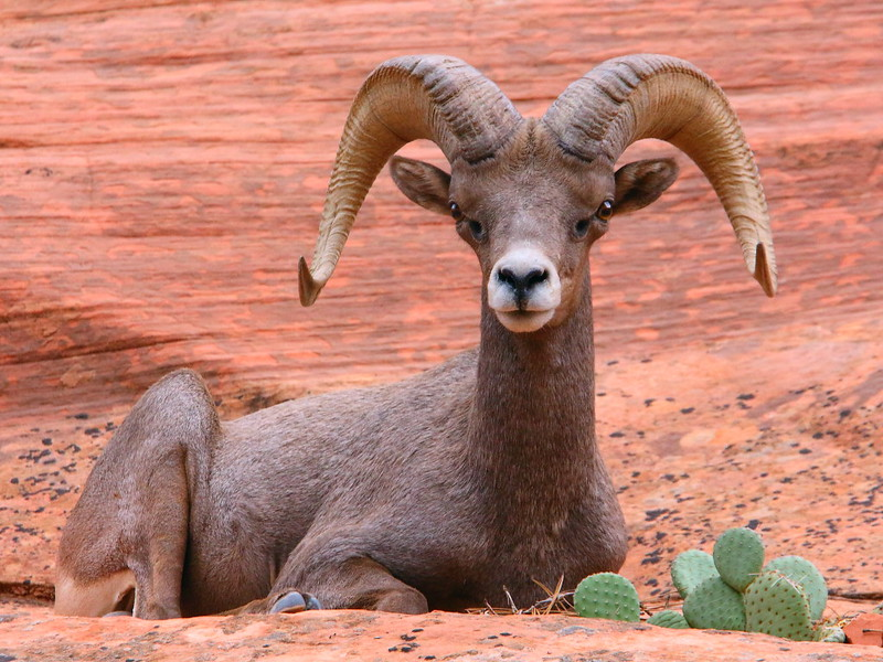 IMG_5274 Desert Bighorn Sheep, Zion National Park