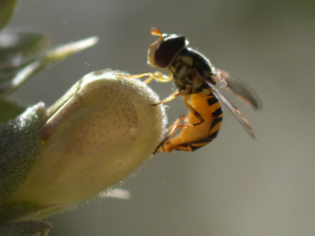 Syrphid Fly ovipositing on White Sage flower bud
