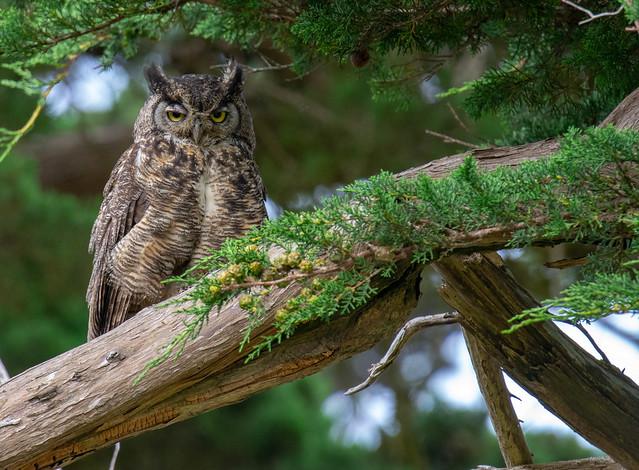 Great Horned Owl, Nikon D3400, Sigma 50-100mm F1.8 DC HSM   A + 2x
