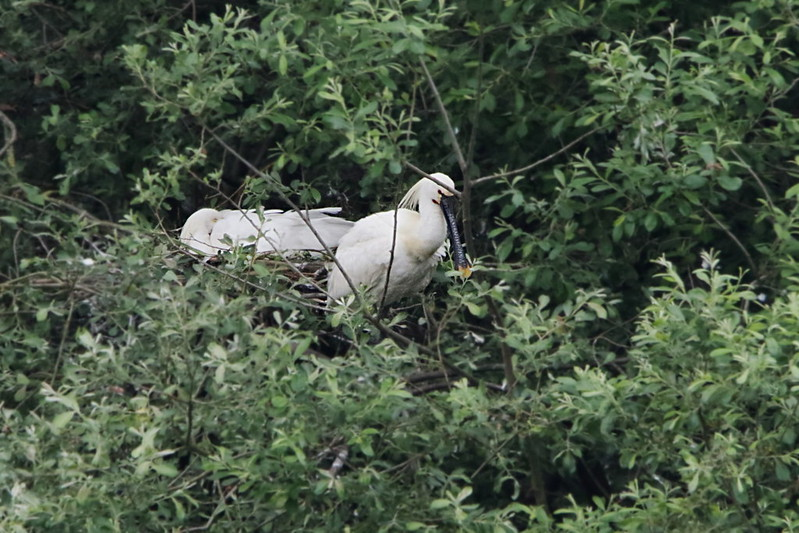 Spoonbill at the nest with chick(s)