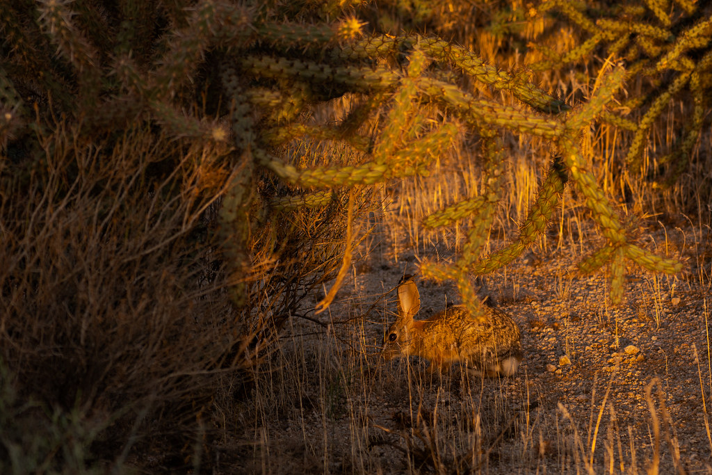 A desert cottontail nibbles grasses at sunrise near a buckhorn cholla along the Chuckwagon Trail in McDowell Sonoran Preserve in Scottsdale, Arizona