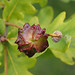 Knopper Gall Wasp - Andricus quercuscalicis