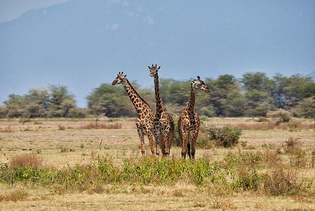 Giraffe, Nikon D800, Nikon AF-S Nikkor 200-500mm f/5.6E ED VR