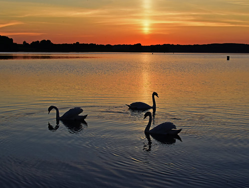 3 Swans in the Lake @ Rutland Water UK