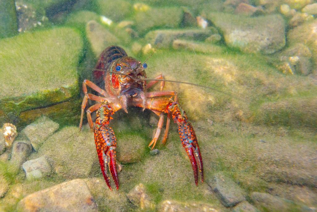 Louisiana Crayfish - Procambarus Clarkii