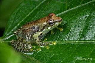 Free Madagascar Frog (Guibemantis liber) - DSC_7015