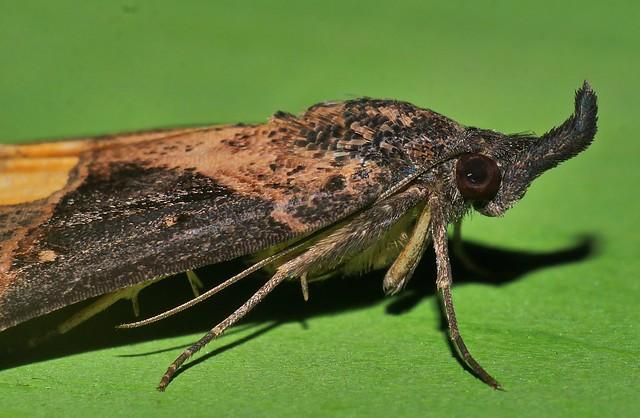 Mandalay Rhino horn Snout moth Dichromia quinqualis Hypeninae Noctuoidea Airlie Beach rainforest P1350946
