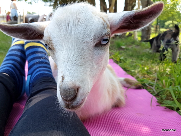 goat on yoga mat