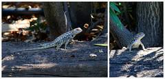 Desert Spiny Lizard (female)