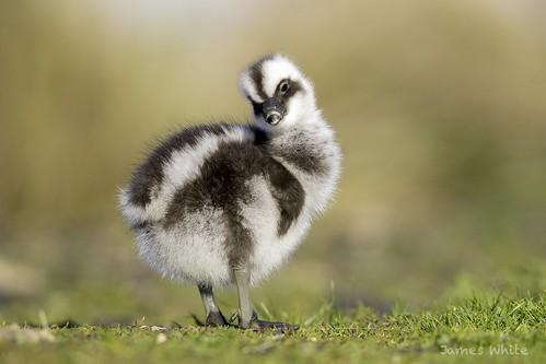 Cape Barren gosling