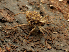 Wolf Spider Mom with Spiderlings