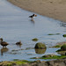 Eider Ducks  12