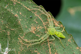 Green crab spider (Oxytate sp.) - DSC_9405