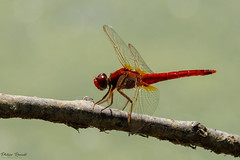 Libellule écarlate mâle (Crocothemis erythraea)