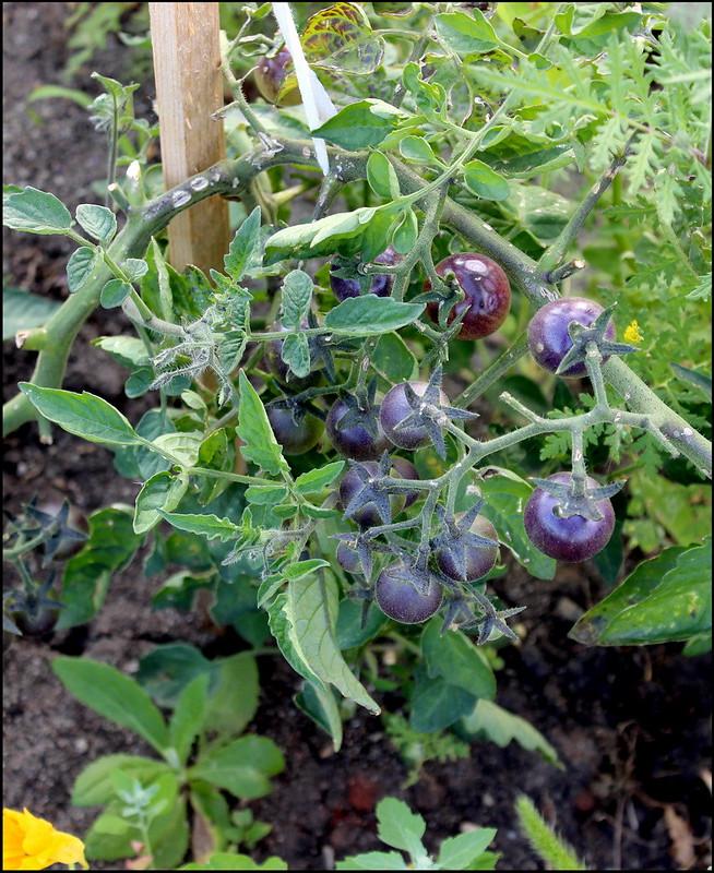 Касарги 3695 Tomato