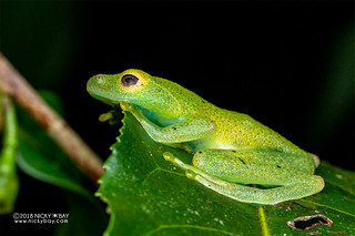 Green bright-eyed frog (Boophis viridis) - DSC_6684