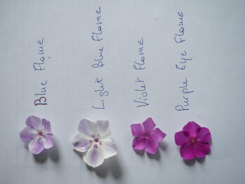 Comparaison des Phlox paniculata rouges et Blue Flame/Light Blue Flame (et autres) 43840367782_b73bce93a1_o
