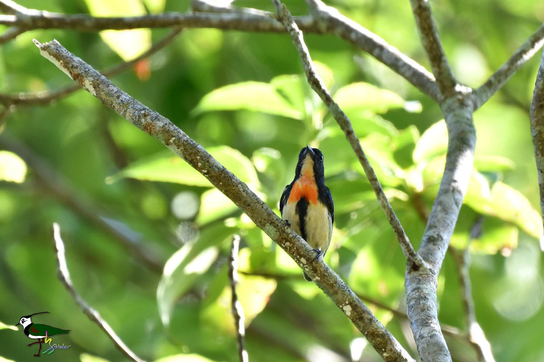 Fire-breasted_Flowerpecker_1331