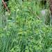 Sun Spurge - Euphorbia helioscopia