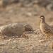 Arabisches Wüstenhuhn (Sand partridge)
