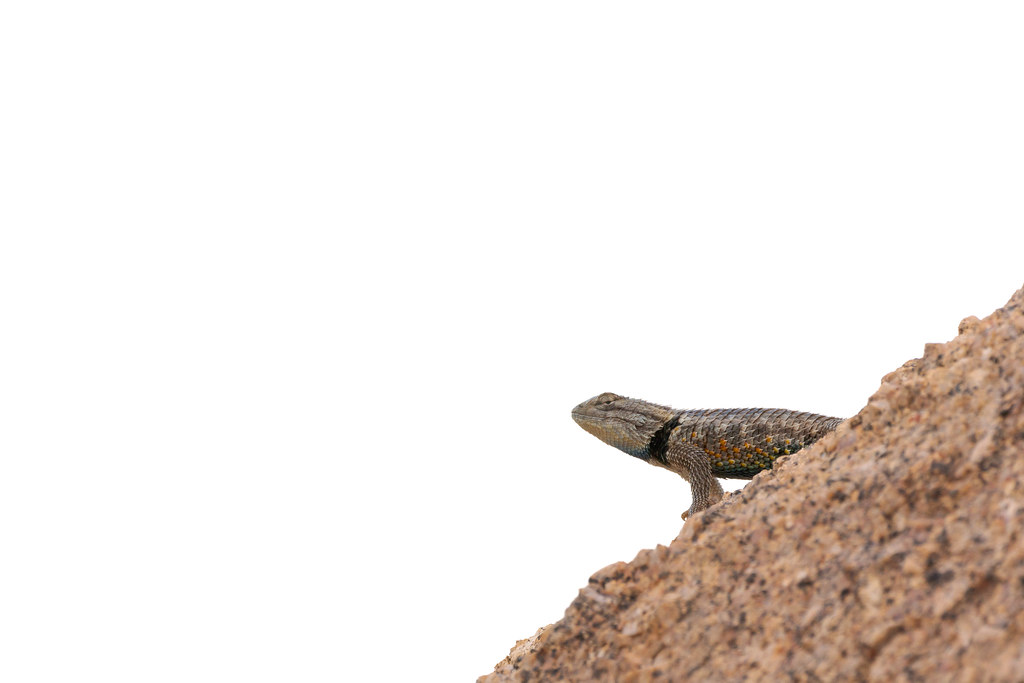 A desert spiny lizard peeks out from behind a rock on the Rustler Trail in McDowell Sonoran Preserve in Scottsdale, Arizona