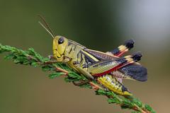 Arcyptera fusca ♂