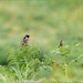 A pair of stonechats