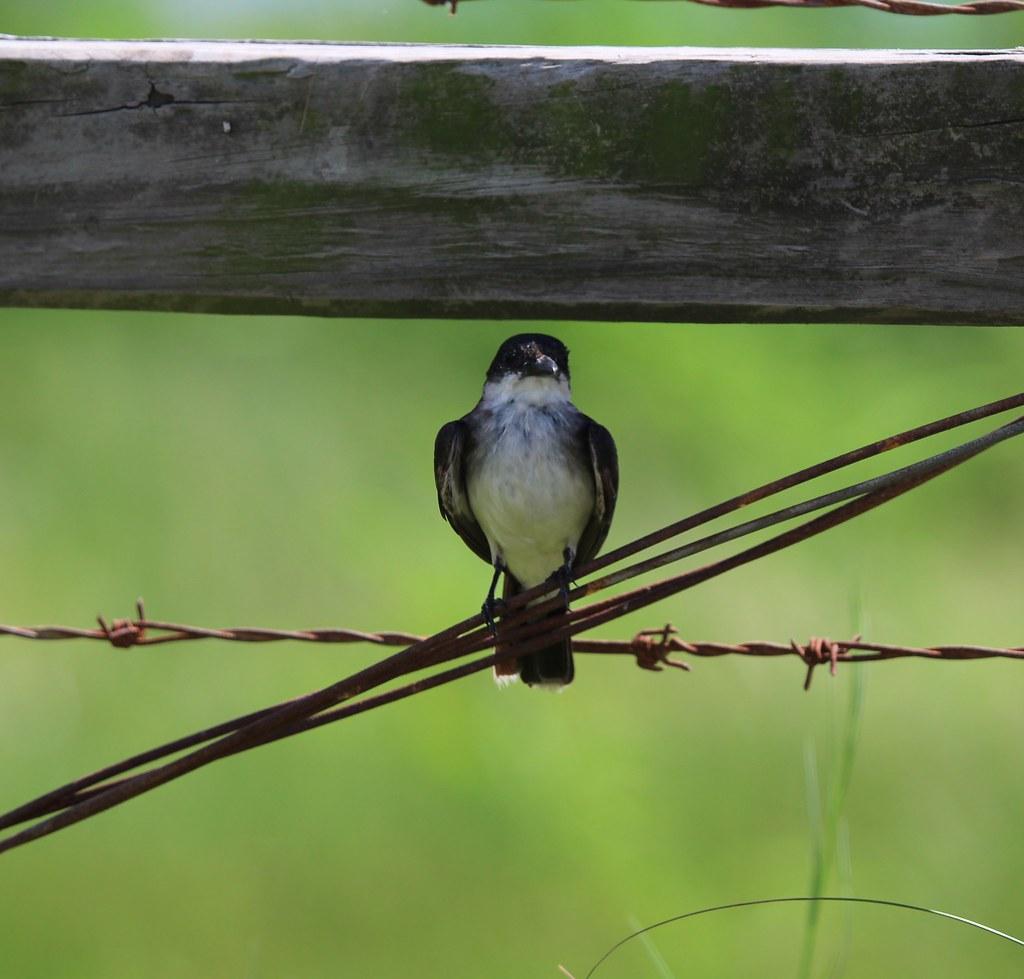 Eastern Kingbird Anahauc NWR 7-18