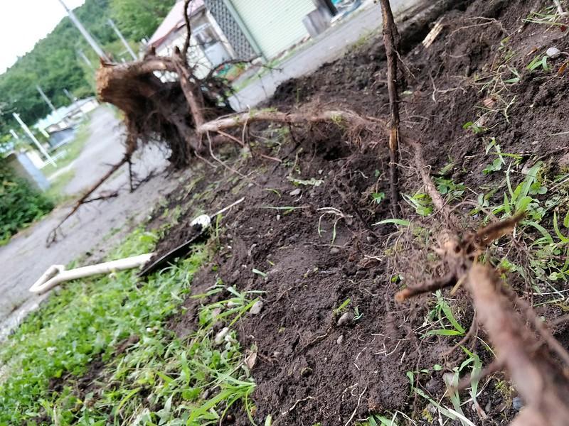 巨木の根を引き抜く (9)
