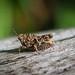 Common Ground-hopper - Tetrix undulata