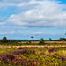 Heather and Gorse on Canfrod Heath