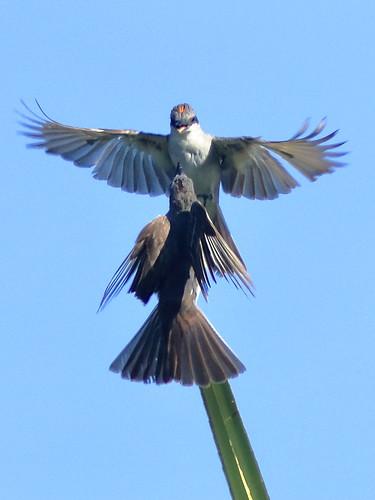 Gray Kingbirds 02-20180823