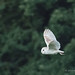 Barn Owl - Woods Mill (028)