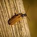 Soldier Beetle sp. - Rhagonycha lignosa