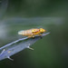 Chloropid Fly sp. - Thaumatomyia notata