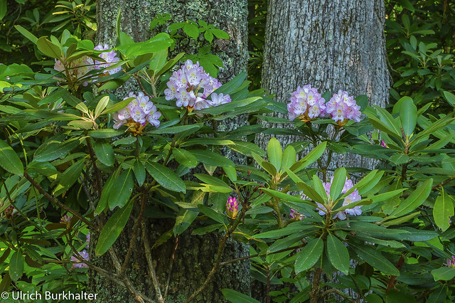 The Rhododendrons are blooming at the Breaks