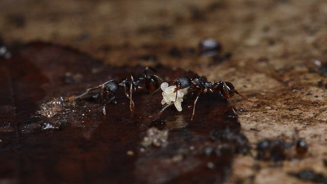 Aphaenogaster