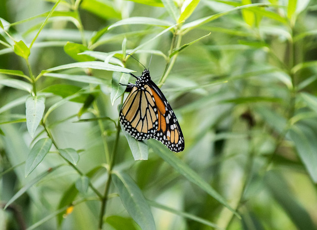 Monarch fluttering around the milkweed today....laying eggs?