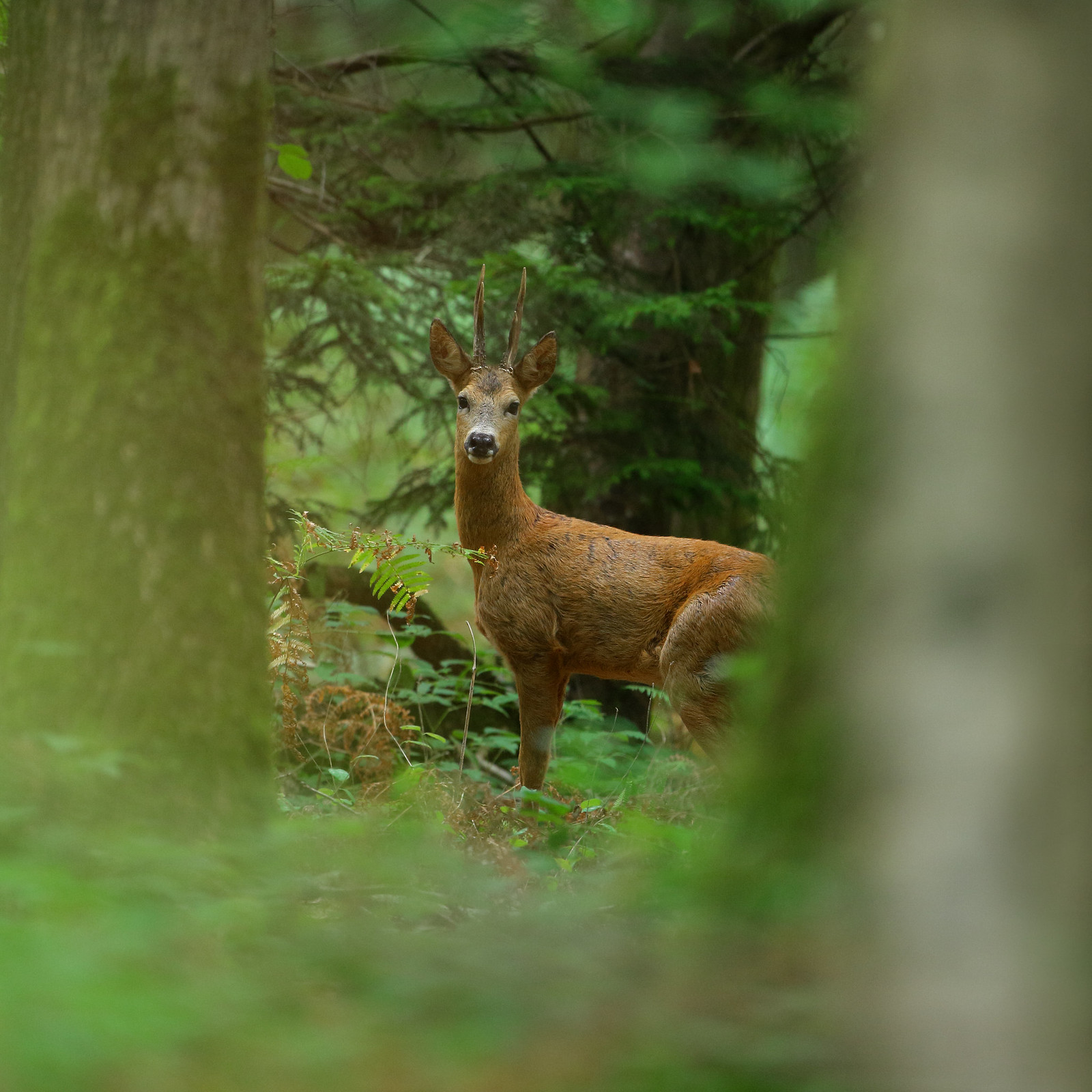 Roe deer buck in forest