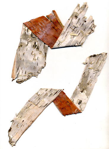 Birch bark folded to reveal the colour differences between the white outer bark and sienna coloured inner bark