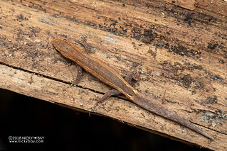 Tiny scaled gecko (Lygodactylus bivittis) - DSC_7972