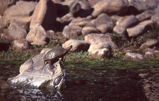 Saharan Pond Turtles (Mauremys leprosa saharica)