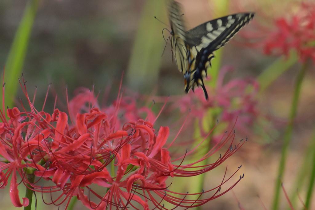 彼岸花/Lycoris radiata
