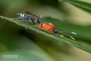 Ichneumon wasp (Cryptinae) - DSC_8492