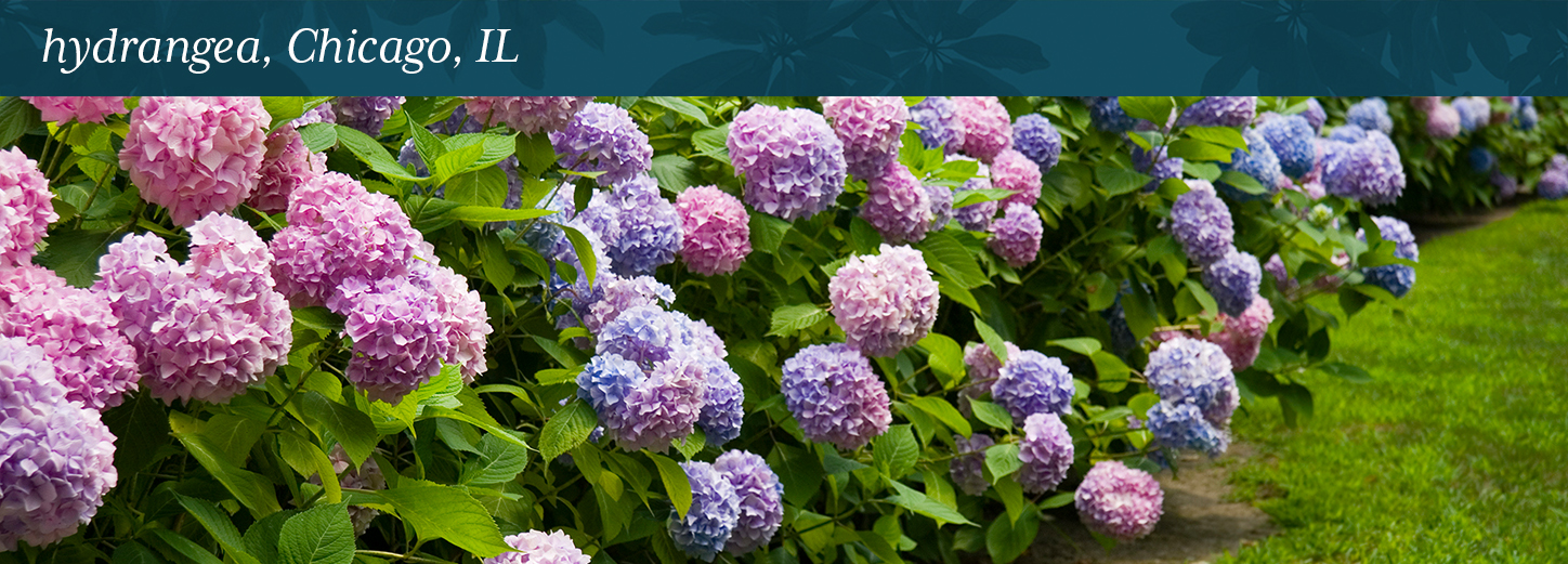 Hydrangea Chicago Il Lurvey Landscape Supply