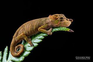 Nose-horned chameleon (Calumma nasutum) - DSC_1125