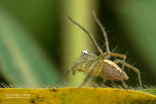Lynx spider (Oxyopes sp.) - DSC_1118
