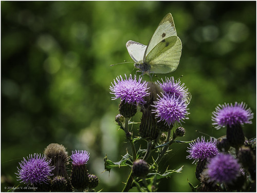 Small white - Butterfly / Carduus