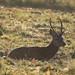 Red Deer Cervus elaphus Pricket 008-1