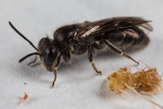 Lasioglossum? Bee 2